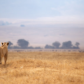 The Lioness by Vijay Nagarajan - Animals Lions, Tigers & Big Cats ( lion, wildlife, ngorongoro, africa, mammal )