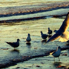 Newport Seagulls by Martin Stepalavich - Animals Birds (  )