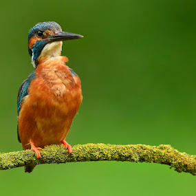 Who's there ? by David Cozens - Animals Birds ( bird, leeds, yorkshire, kingfisher )