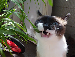 Photo: Happy Caterday!  What happens when you give your cat a bouquet of fresh grass?.... Kitty ecstasy... ..... and a bit of clean up later.... :D  I mean #CatUrday... :}
