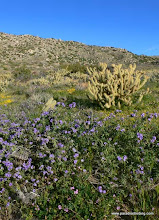 Photo: Phacelia and cholla in Culp Valley; Anza Borrego Desert State Park