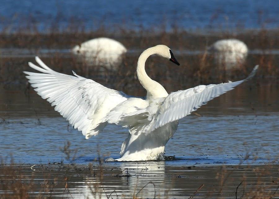 Trumpeter Swan  by Paula Guttilla - Animals Birds ( bird, illinois, swan )