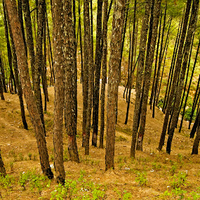 Pine forest by Debopam Banerjee - Landscapes Forests ( birches, wood, yellow, remote, leaves, tree, nature, autumn, dark, pine, darkness, objects, black, wild, orange, grass, wallpaper, forest, sunlight, maple, trunk, environment, season, horizontal, branch, day, walk, natural, calm, ray, land, ground, beauty, landscape, paths, india, birch, peaceful, green, beautiful, field, peace, fall, background, meadow, brown, beam, scenery, group, garden )