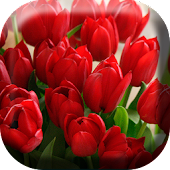 Gorgeous Tulips Live Wallpaper