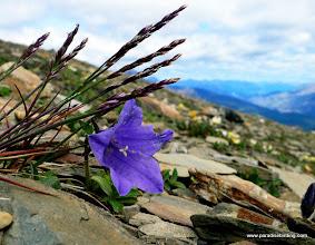 Photo: Alpine harebell, The Whistlers, Jasper National Park