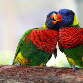 the kiss by Asya Atanasova - Animals Birds ( kiss, colorful, colors, birds,  )