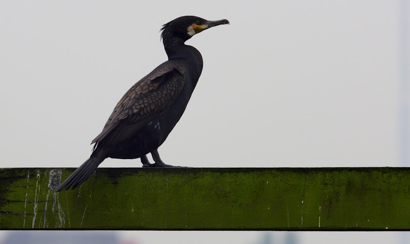 Photo: Cormorant ~ Project 365/366 ~ One shot a day ~ #182 For: #G +365Project #365project #creative366project #365group #project365