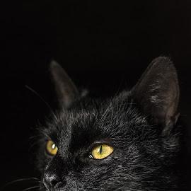 Black Manx 1 by Martin Mák - Animals - Cats Portraits ( look, cat face, cat, beautiful, dark background, yellow, eyes, cats, looking, cat eyes, cat portrait, black, domestic cat )