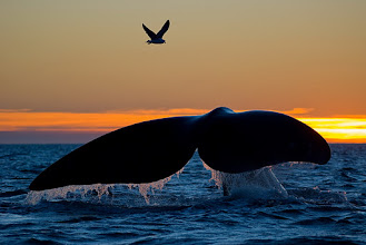 Photo: Southern Right Whale, Valdez, Argentina