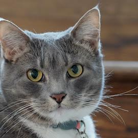 Libby Eyes by Jack Nevitt - Animals - Cats Portraits ( closeup, cat, looking, eyes, steps )
