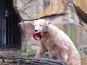 Photo: Knut hat einen anderen Ball entdeckt :-)