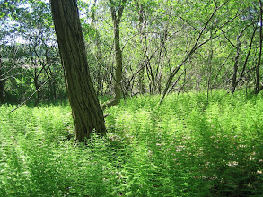 Photo: Hayscented ferns, 5.29