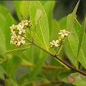 Flor de Mangle Negro
