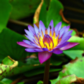 Water Lily. by Awang Kassim - Nature Up Close Flowers - 2011-2013