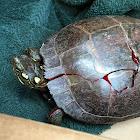 Eastern Painted Turtle