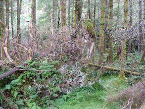 Photo: Les racines des arbres déracinés, des êtres fantasmagoriques, digne de Tolkien