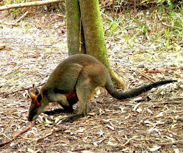 Photo: Swamp Wallaby Oatley Park