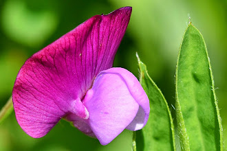 Photo: Lathyrus clymenum , cicerchia porporina, sweet pea