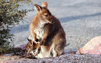 Photo: Wallabies in Freycinet National Park, Tasmania