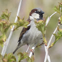 House sparrow breeding Male