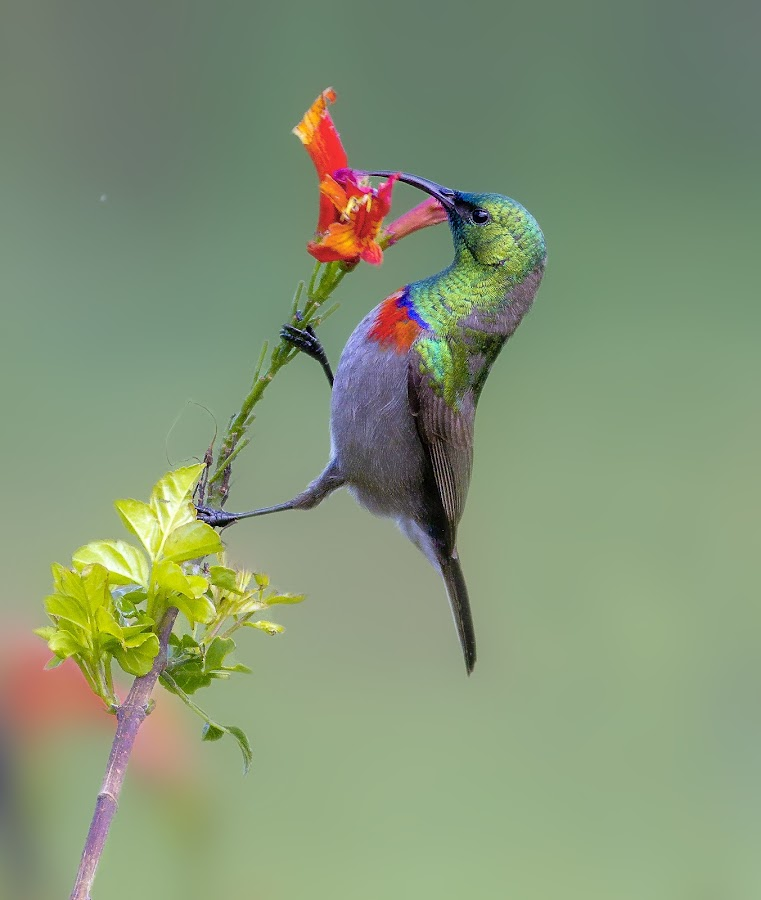 Southern double collared sunbird by Louis Groenewald - Animals Birds