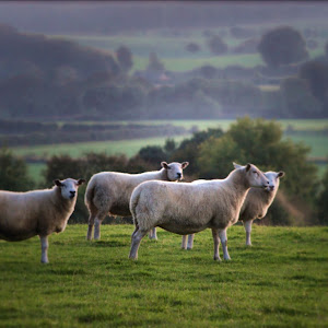 Sheep c.jpg