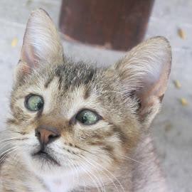 Cross-eyed kitten by Vicki Clemerson - Animals - Cats Kittens ( cross-eyed, kitten, head, cross-zeroed kitten, portrait,  )