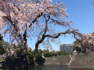 こんな「皇居乾通りのお花見」でした。【お濠&石垣編】