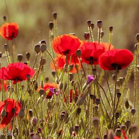 Poppies by Hilda van der Lee - Flowers Flowers in the Wild ( wild, red, nature, poppies, flowers, spring,  )