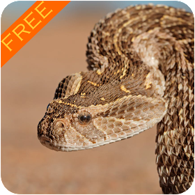 Death Adder Snake Wallpaper