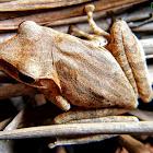 Roth's Tree Frog.