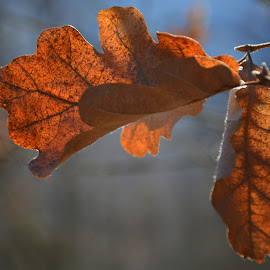 Rusty feelings by Rux Georgescu - Nature Up Close Leaves & Grasses ( autumn, fall, brown, forest, leaves )