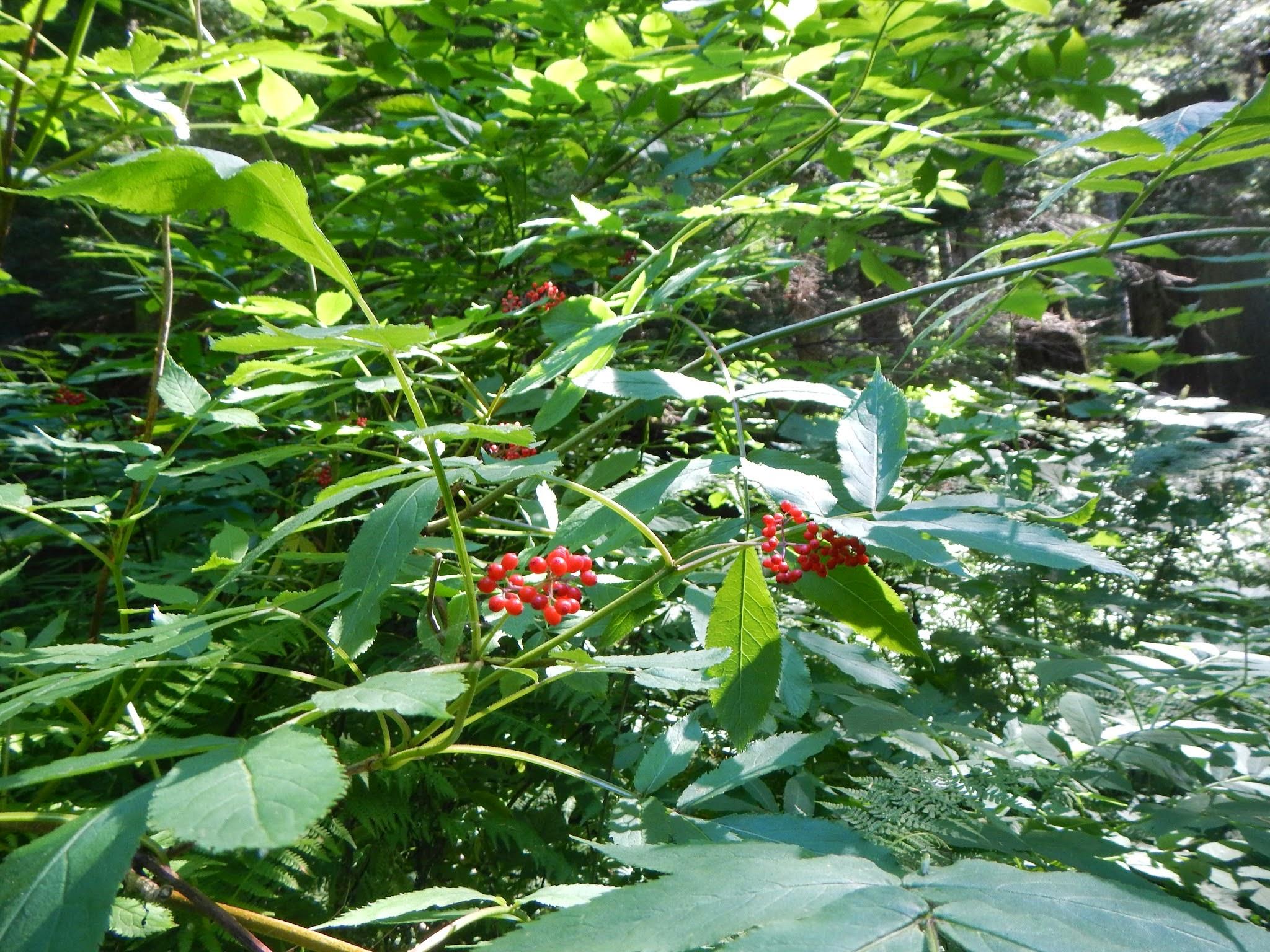 Photo: Red elderberry