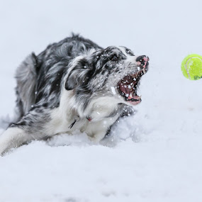 Skill by Peter M  - Animals - Dogs Playing ( canon, australian shepherd, dog, aussie )