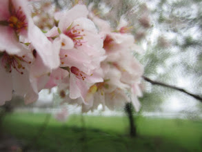 Photo: Group of apple blossoms at Eastwood Park in Dayton, Ohio.