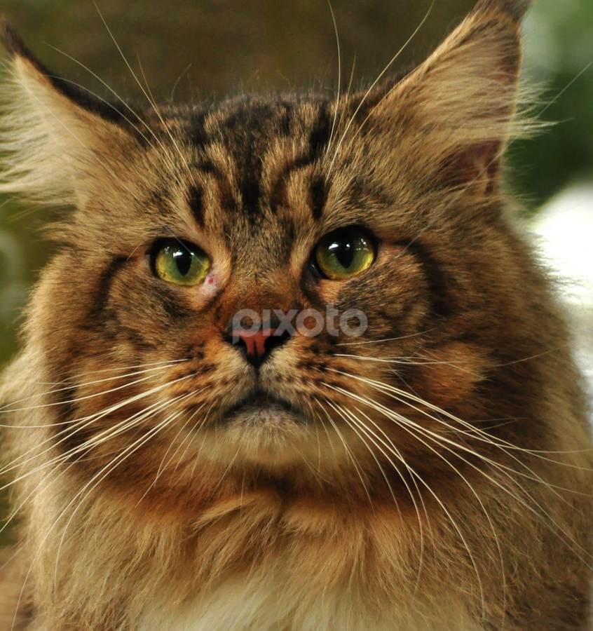 Leo Face by Cacang Effendi - Animals - Cats Portraits ( cats, kitten, cattery, chandra, kitty )