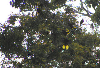 Photo: Can you see the birds with bright yellow tails?