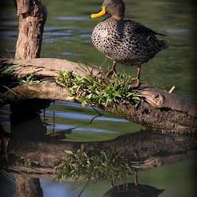 sitting duck by Dawie Nolte - Animals Birds ( yellow billed duck, water duck, ducks, reflections, sitting duck,  )