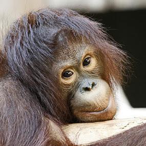 Orang Uthan  by Elke Krone - Animals Other Mammals (  )