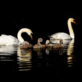 Swan lake by Barry Jones - Animals Birds ( signets, colchester, swan, lake, chicks )