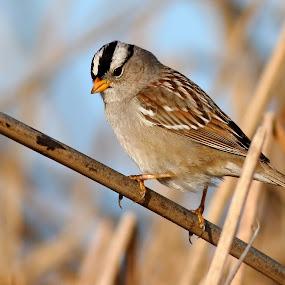 White-crowned Sparrow by Andrew Johnson - Animals Birds ( bird, nature, wildlife, animal, sparrow )