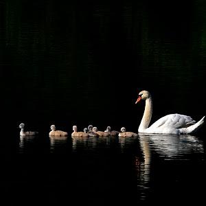 Swans_family_3.jpg