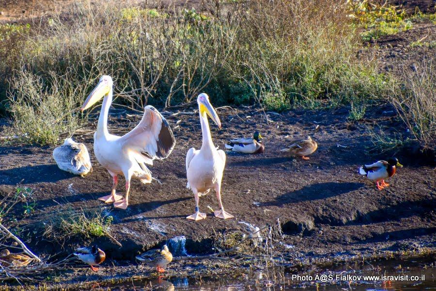 Пеликаны. Экскурсия в Израиле в птичий заповедник на озеро Агмон Хула.
