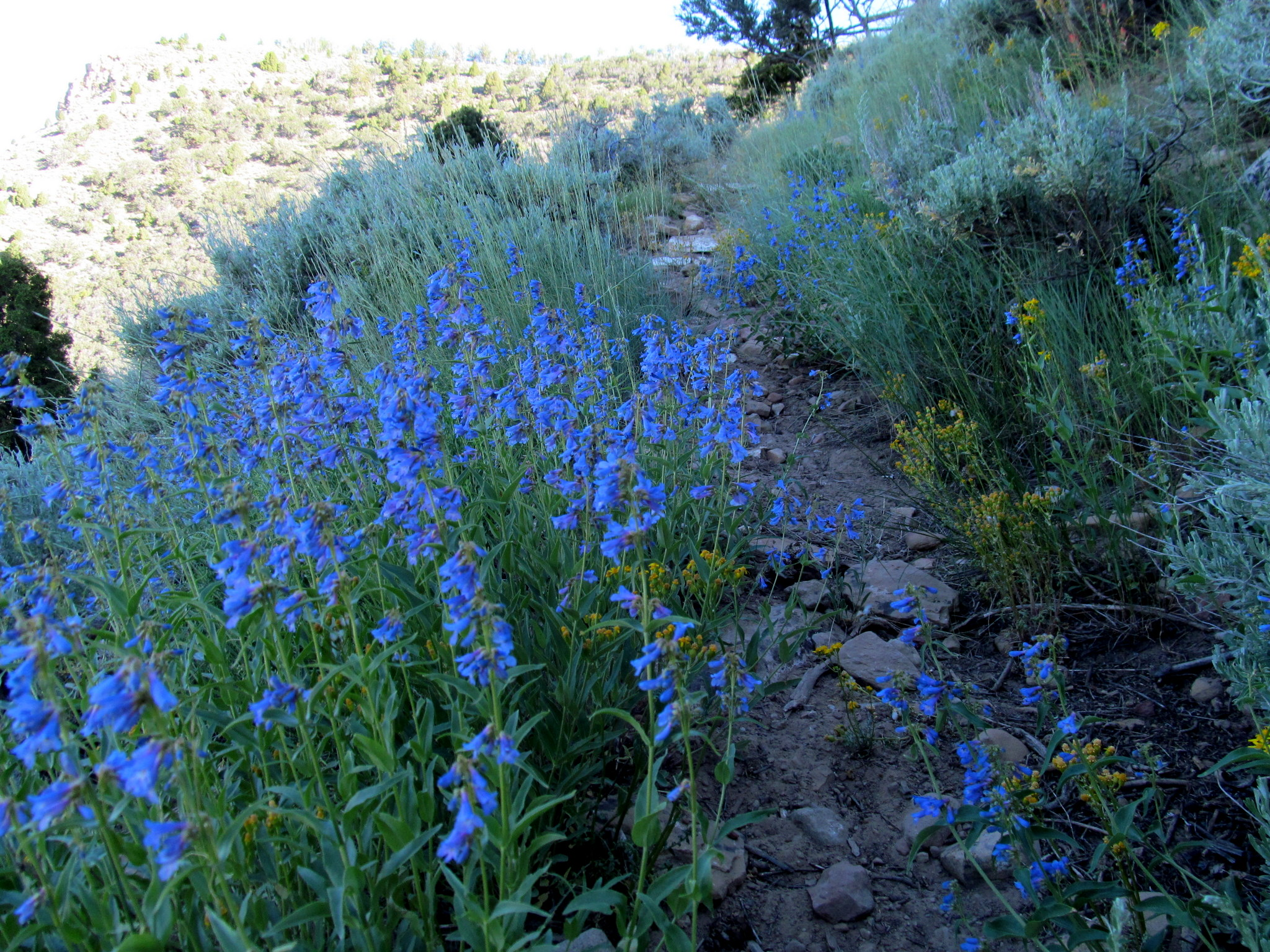 Photo: Blue-Stemmed Penstemon (Penstemon cyanocaulis)