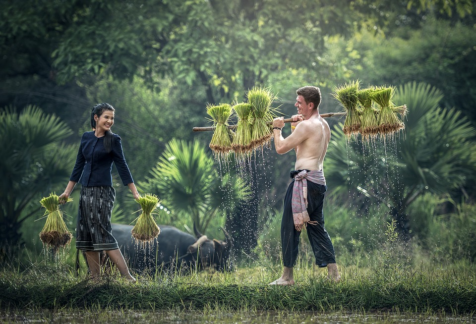 Young man and woman carrying rice from a paddyfield, with a water buffalo in the background.