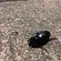 Giant water scavenger beetle