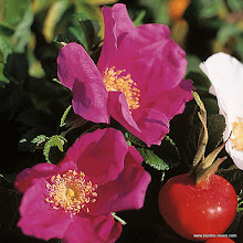 Photo: Wildrose Rugosa