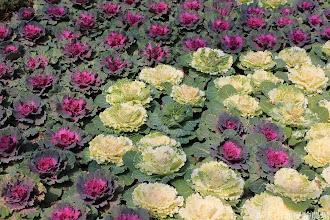 Photo: 拍攝地點: 梅峰-溫帶花卉區 拍攝植物: 葉牡丹 拍攝日期: 2014_02_18_FY