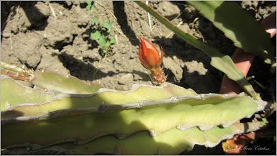 Photo: Cactuși (Cactaceae) - din Turda de pe Calea Victoriei, Bloc B15, spatiu verde - 2018.05.12