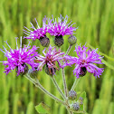 Arkansas ironweed